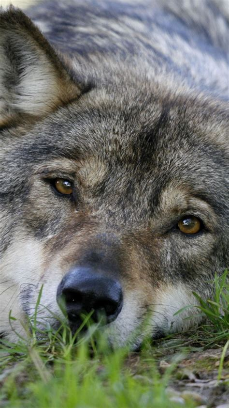 720x1280 wallpaper Relaxed, predator, wolf, muzzle   Wolf